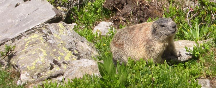 Alpine marmots at the Hohe Salve